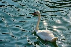 DSC_2304 Swan 2 Croatia 2017.