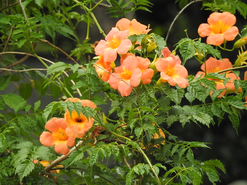 Campsis grandiflora flowers