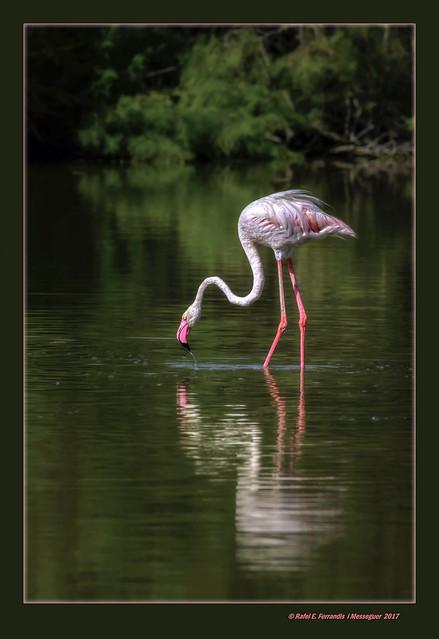 Reflex de flamenc 37 (Phoenicopterus roseus) Flamingo's reflection 37 (El racó de l'Olla, València, l'Horta, Spain