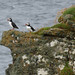 P1060050 Puffins Westray, Orkney by Martin Stephen