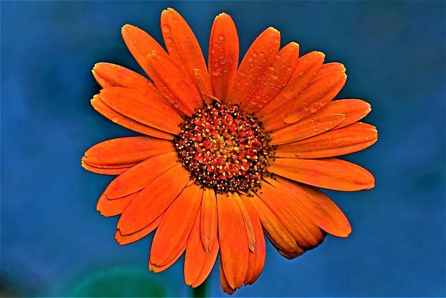 Water Droplets on Orange Penstemon