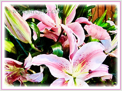 Lilium 'Pink Perfection' is wonderfully pink, 7 Oct 2011