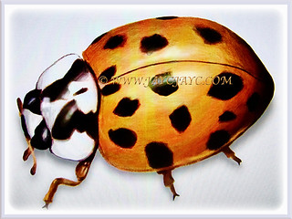 Orange-coloured Harmonia axyridis (Asian Lady Beetle, Harlequin, Multicoloured Asian Beetle) with lovely black spots, 14 July 2017