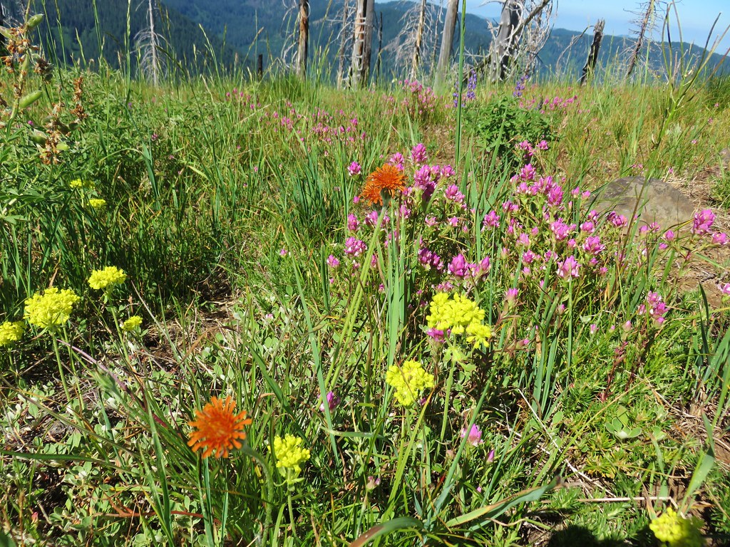 Wildflowers on Chucksney Mountain