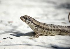 Bahamian Lizard