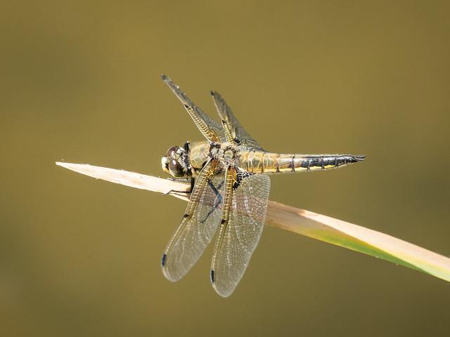 Four-spot skimmer dragonfly