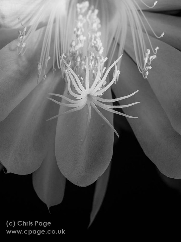 Night flowering Orchid Cactus