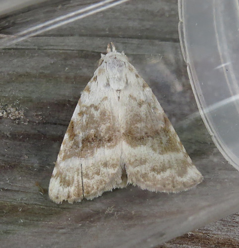 Kent Black Arches Meganola albula Tophill Low NR, East Yorkshire July 2017