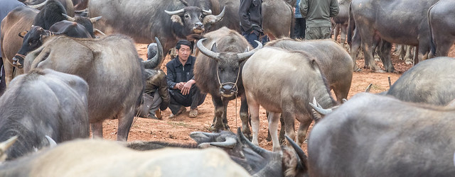 Hmong selling buffalos at Coc Ly Market