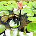 Water Lilys Backyard Estates Cary NC 3725-001