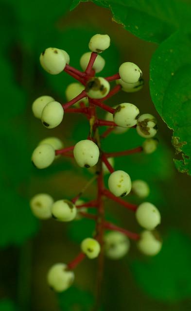 Header of Actaea pachypoda
