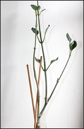 Fockea multiflora 35320367923_123dd0b6b6
