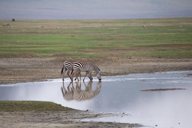 Zebras of Ngorongoro Crater