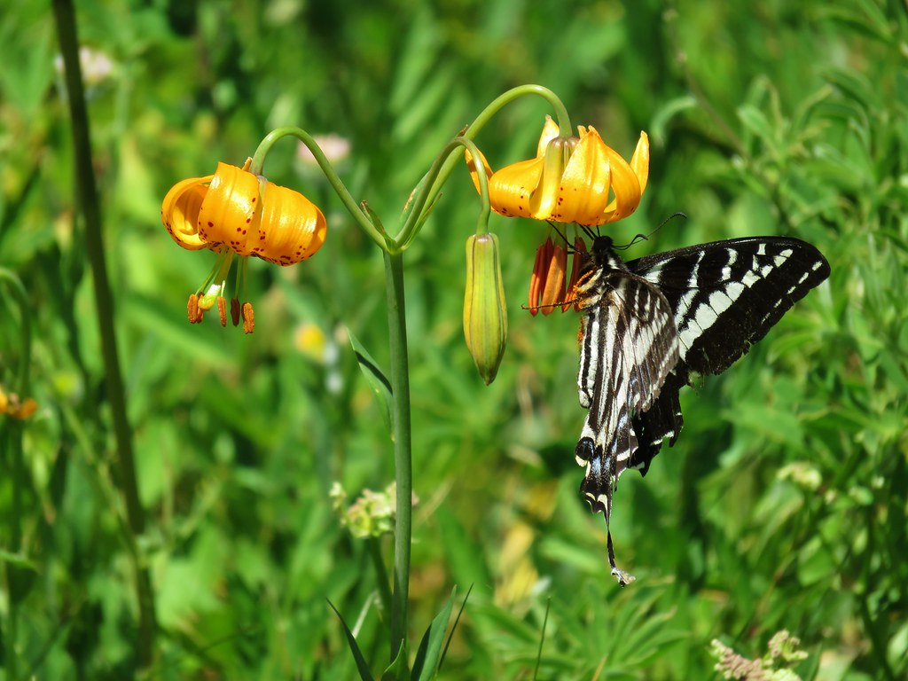 Swallowtail on tiger liliy