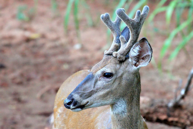 Young White Tailed Buck