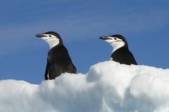 Tierbeobachtungen an Antarktische Halbinsel. Pinguine auf Eisscholle. Foto: Rainer Schenk.