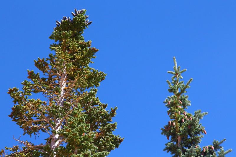 IMG_9182 Subalpine Fir (left) and Engelmann Spruce (right)