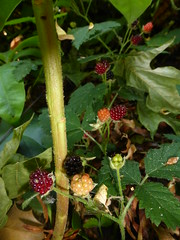Evergreen Blackberries