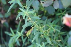 Slender Threeseed Mercury (Acalypha gracilens)