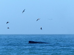 Humpback whale rising