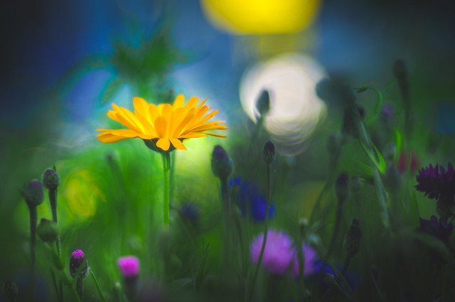 Wild flower - Trioplan Bokeh 3