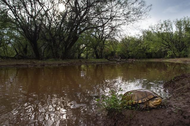 Arizona Mud Turtle Kinosternon, RICOH PENTAX K-3, HD PENTAX-DA 15mm F4 ED AL Limited