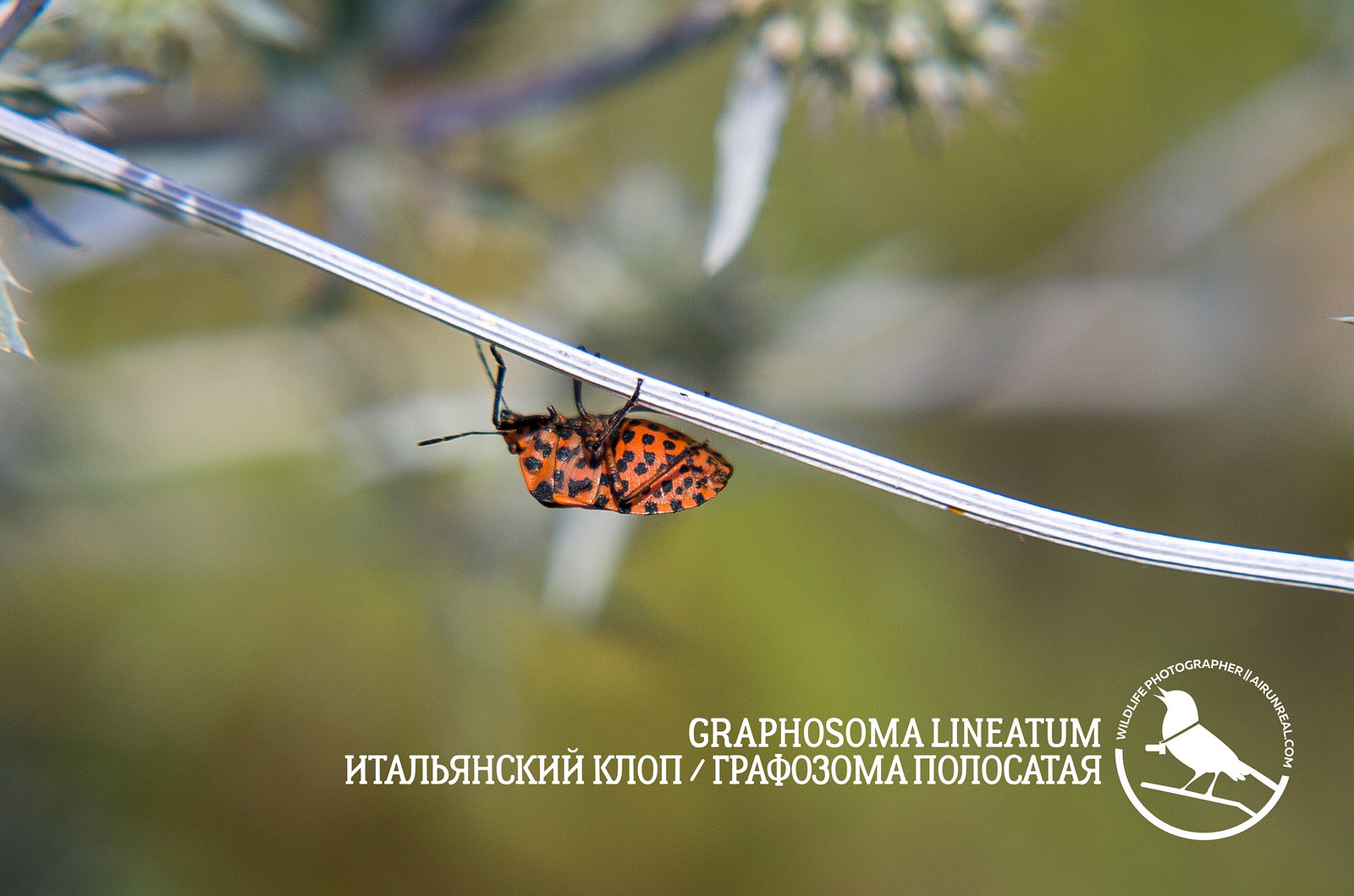 Graphosoma lineatum // 20170719