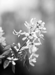 Serviceberry Flowers - 120mm Macro Lens