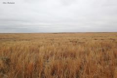Texas short-grass prairie - Lesser Prairie Chicken habitat