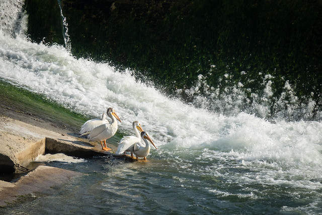 white pelicans at the weir