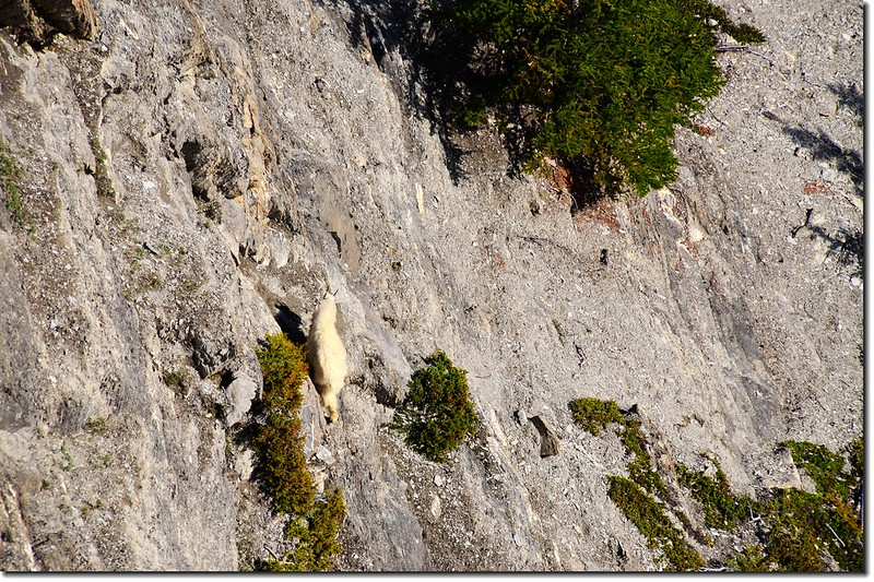 Mountain goat underneath the Glacier Skywalk 2