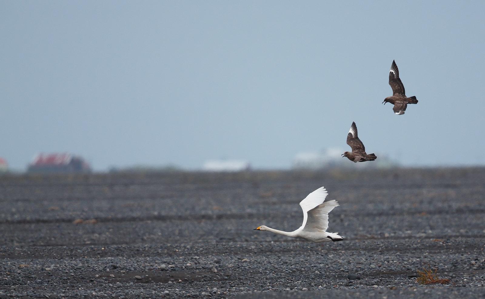 bonxies taking dislike to Whooper Swan
