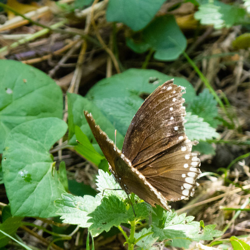 Is this a White Admiral?