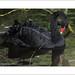 Black Swan Washing (Cygnus atratus)