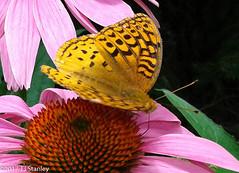Great Spangled Fritillary Butterfly 20170702_141027-9.jpg