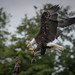 163001 Bald Eagle coming home at the HCT by Brandon birder