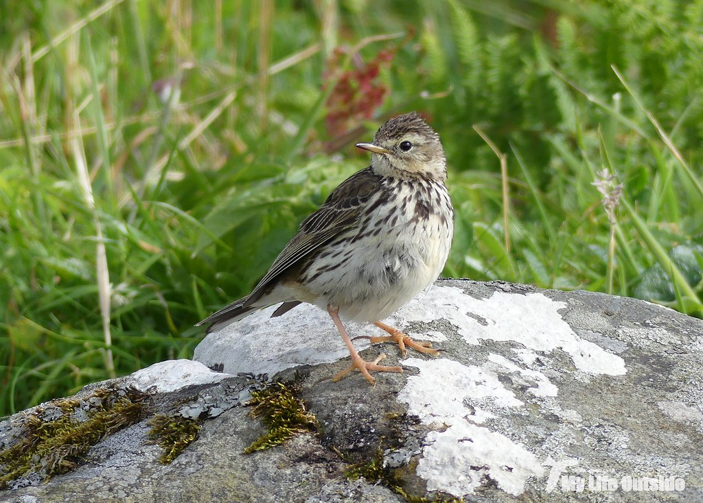 P1100014 - Meadow Pipit, Lunga