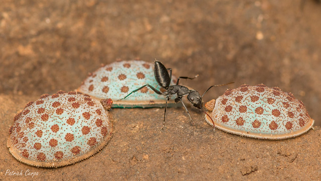 Camponotus morosus con Microdon violaceus