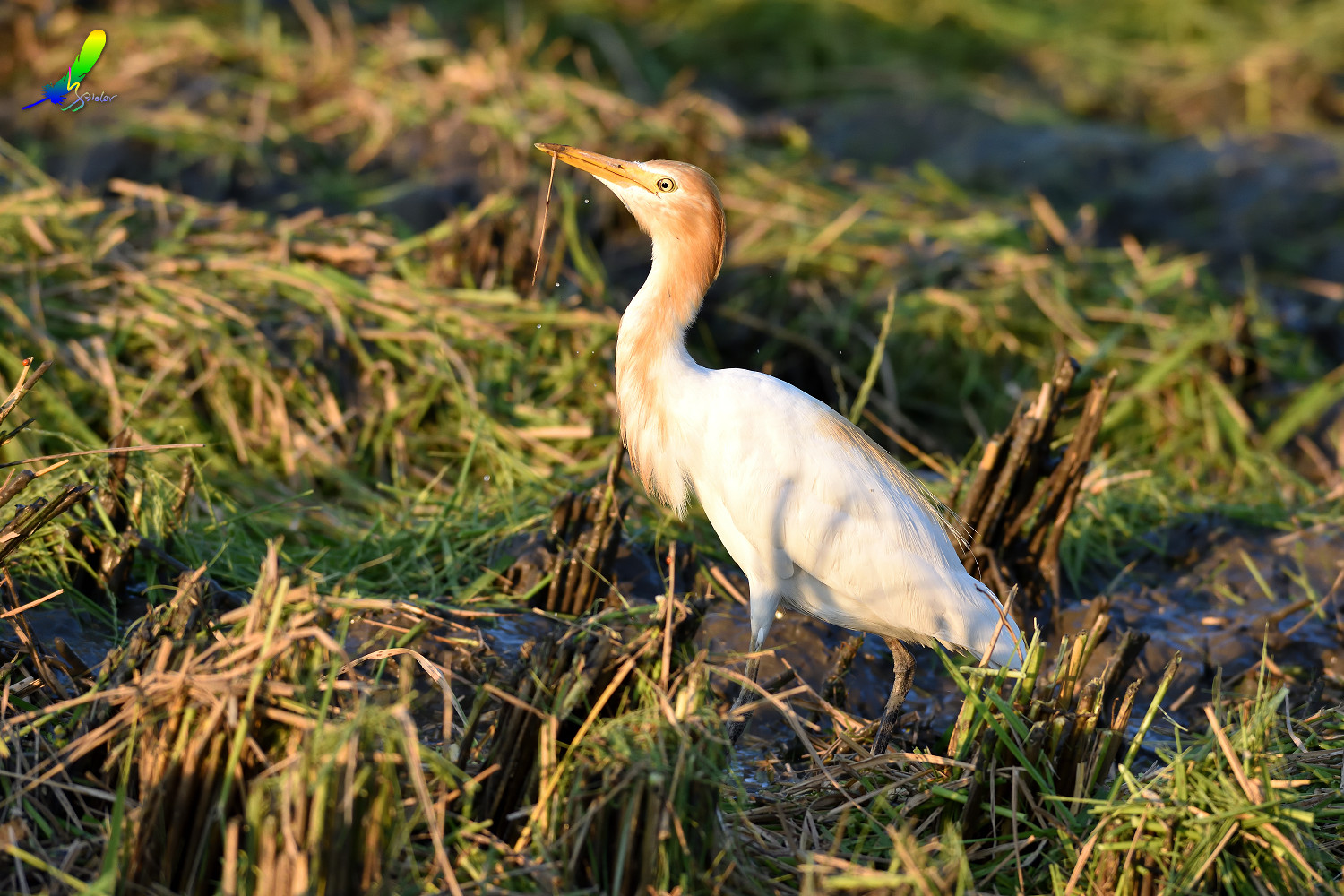 Cattle_Egret_0395