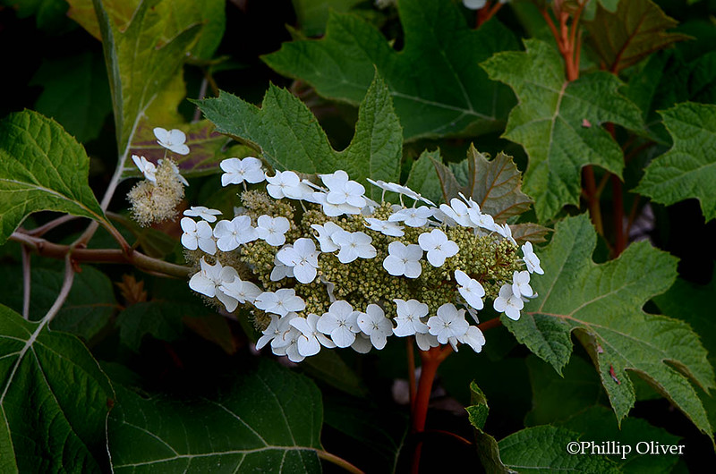 Hydrangea quercifolia 'Alice'