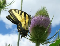 Eastern Tiger Swallowtail on Teasle