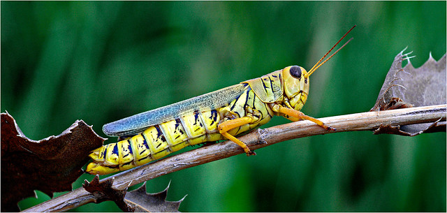 Grasshopper, True, Texas (Young County)