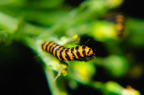 Cinnabar moth caterpillars eating groundsel