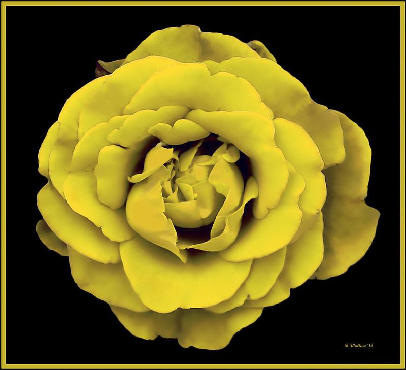 Brian_Yellow Rose 1 LG_092912_2D