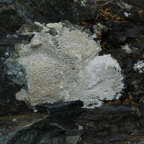 Lichen, coastal path, Cornwall