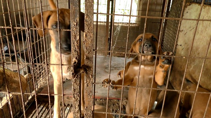 "The Korea Observer's documentary ""The Dog Meat Professional: South Korea"""