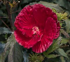 Red Hibiscus, Dallas Arboretum