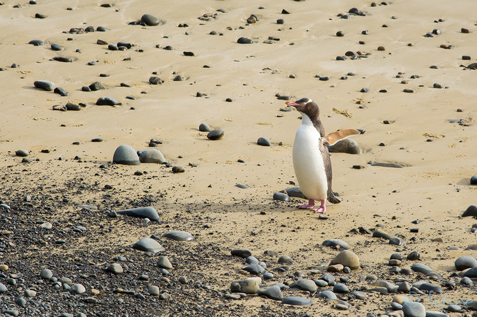 Erakpingviin, pingviin, Megadyptes, antipodes, Yellow, eyed, Penguin, The Catlins, Coast, New, Zealand, Kaido Rummel