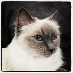 Och när Lyra ligger hos mig, i min soffa, går det till och med att ta porträttfoton på henne! :) #kattvakt