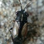 csíkoshátú bodobács - Geocoris ater